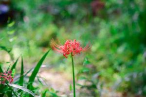 紅白の秋の花。