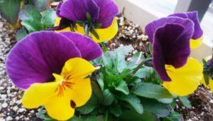 黄色と紫の関係性。