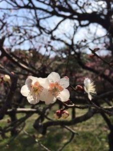 梅の花と真っ赤な苺