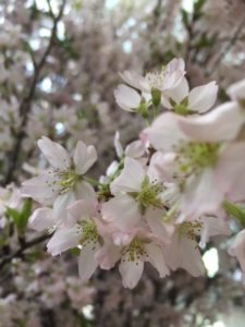 新元号「令和」に桜さく。