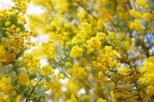幸運の黄色、ミモザの花