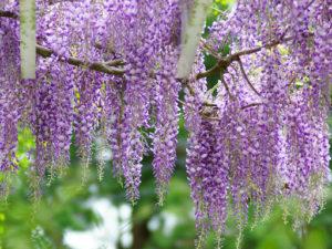 甘い香りの品格の花は?