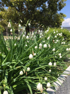 白い花、スノーフレーク